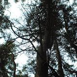 倒下的树根上长出新的大树