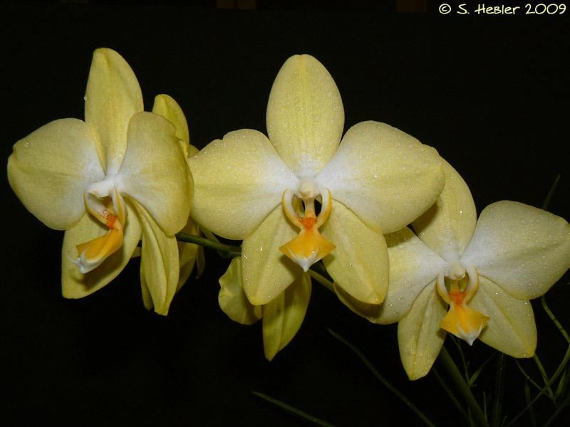 Phalaenopsis Sweet Memory Phalaenopsis_Zuma_Gold