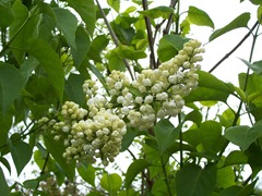 Flower balls of white lilac