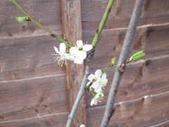 Plum blossom - April