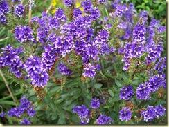 Purple Pixie2