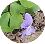 Dog Violet found on April 1