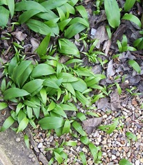 Wild Garlic or Ramsons 1.04.2009