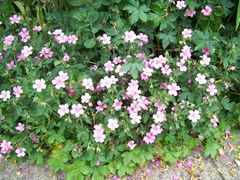 Pink geranium - Crane's-bill