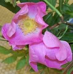 Sweet-briar - Rosa rubiginosa (Briar Rose)
