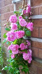 Pink Rambling Fairy Rose
