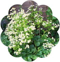 Feverfew - the daisy family - aromatic perennial herb