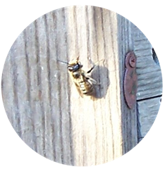 Rogue bee -