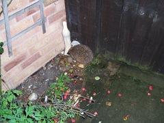 Hedgehog in August