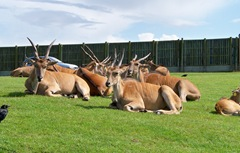 Eland does (females) - African - Largest antelope species