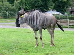 Wildebeest or Brindled Gnu - African Antelope