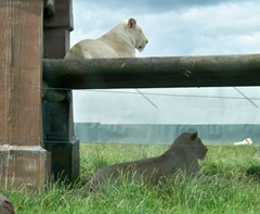 White lions - two females