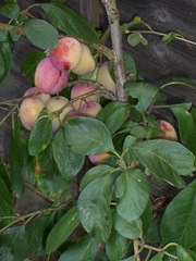 Baby plum tree - plum tucker