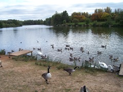 Arrow Valley - Canada Geese, Swans, Mallard ... Late September - evening