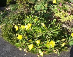 Evening Primrose - short rockery variety