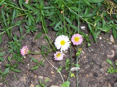 Mexican daisy - Fleabane