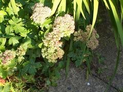Sedum Ice Plant in the sun