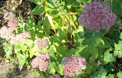 Sedum Ice Plant - with basking honey bees