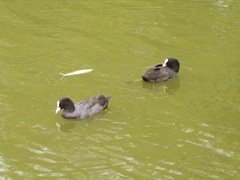Coots - this way and that