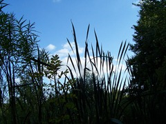 Great Reedmace - (Bulrush) at twilight or dusk