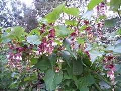 Himalayan honeysuckle - Leycesteria formosa or Pheasant berry
