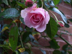 Pink fragrant rose in November