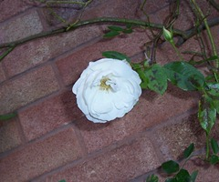 Iceberg rose - 2.12.09 after a frosty nigh
