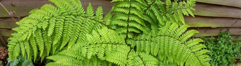 Lady Fern - panoramic view