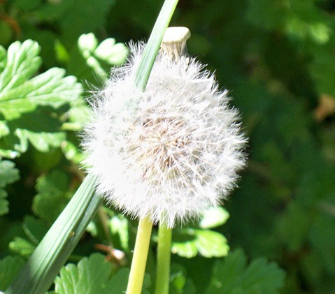 Dandelion seed-head or clock