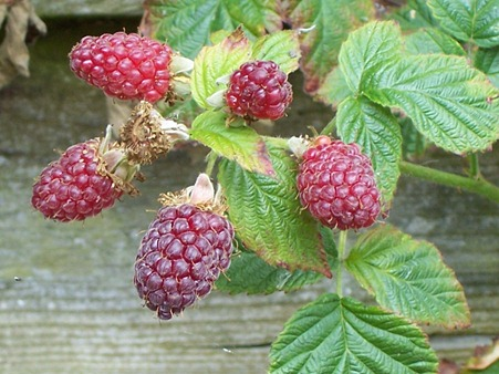 Loganberries