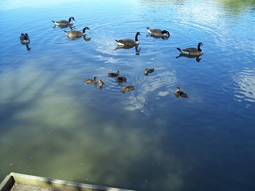 Ducklings - the young of the Mallard - swimming around Canada geese