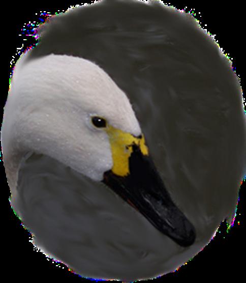 Bewick's swan png