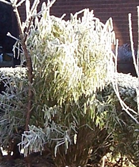 Bamboo covered in hoarfrost