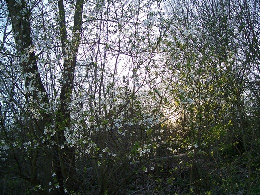 Blackthorn blossom - Autumn sloe_edited-1