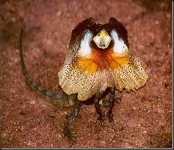 frill-necked_lizard_chlamydosaurus_kingii