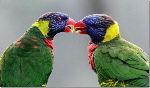 papagali indragostiti
