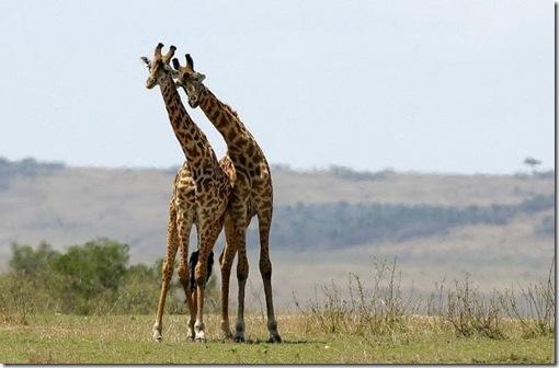 girafe indragostite