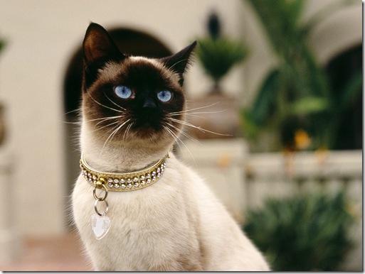 imagini pisici