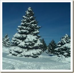 pine tree snow covered group