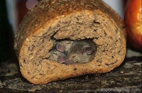 Ratos no pão - asponesgroup.com