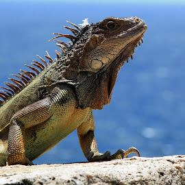 Habitat of a fort by Anju Duley - Animals Reptiles ( lizard, watching, beautiful, reptile, posing )