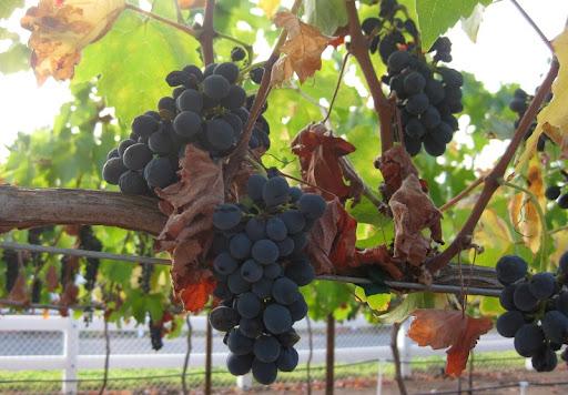 Fallbrook Syrah Harvest
