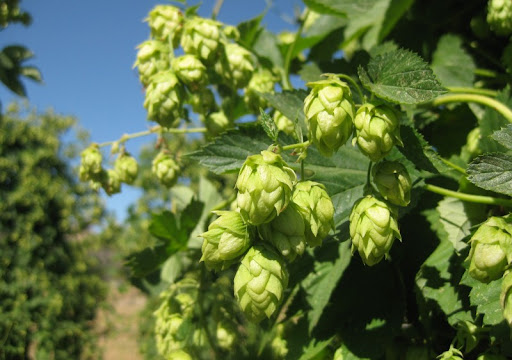 Cascade Hop Flowers at Star B Ranch
