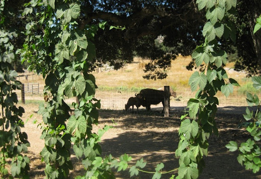 Hop Vines and Bison at Star B Ranch
