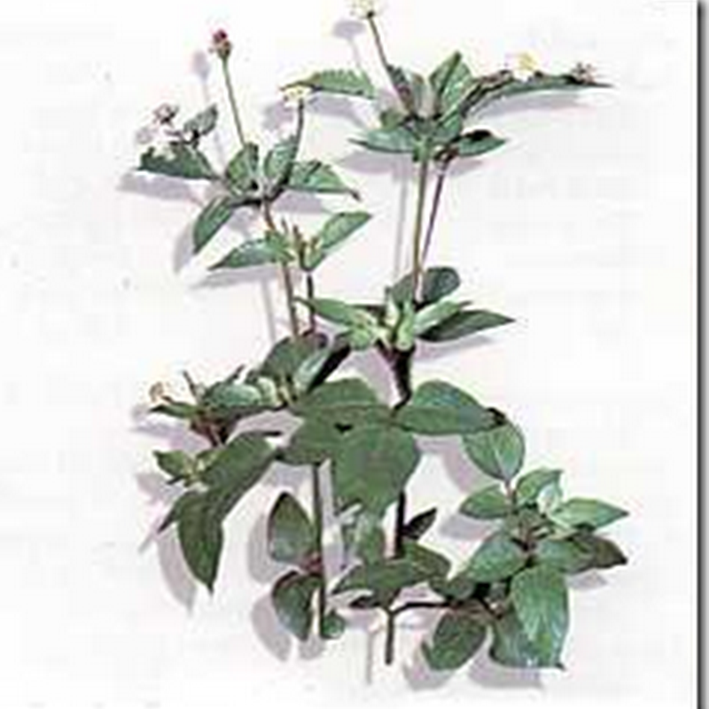 Ajeran (Bidens pilosa L.)