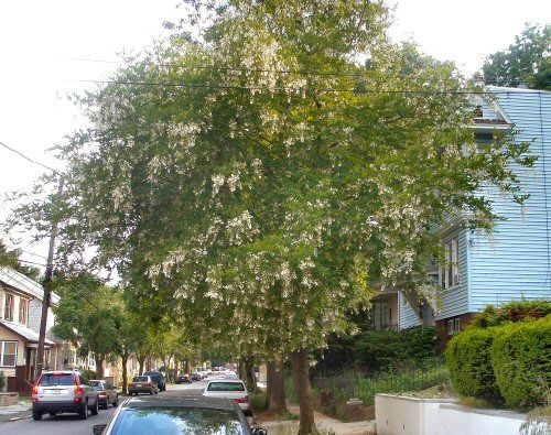 New movie channel over air yellow flowering trees newark usa two spots north of my house is this tree that produces white flowers in downward hanging mightylinksfo