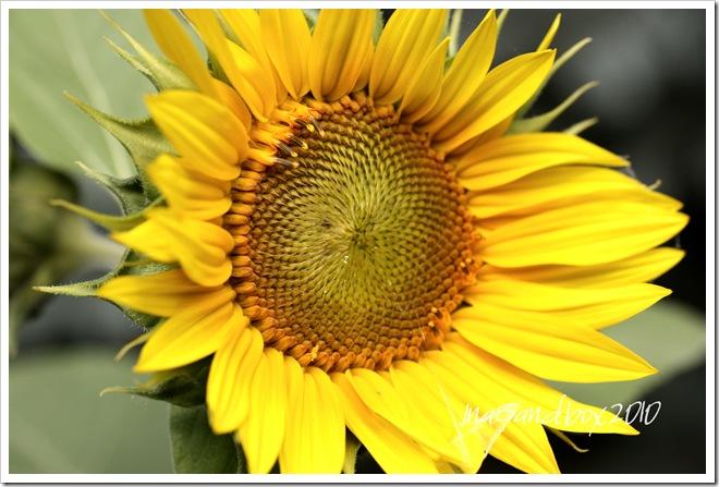 Jen's sunflower