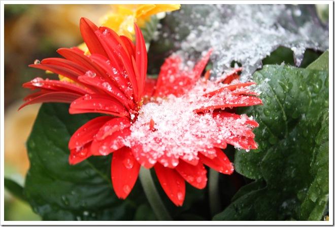 Snowy Gerbera 10-22