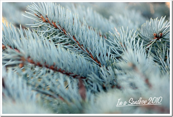 blue spruce branches with logo