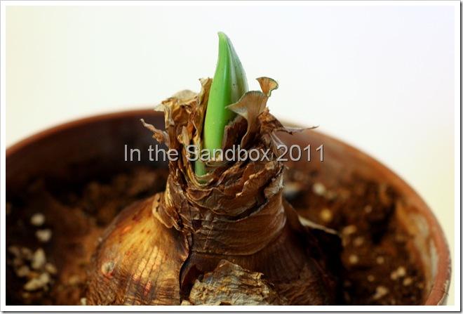 Amaryllis bulb 2-25